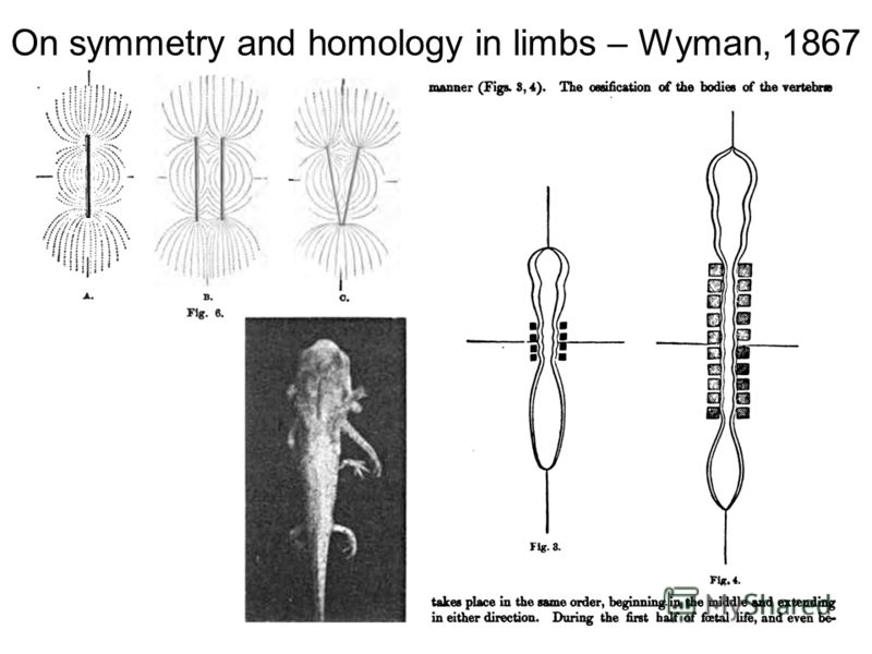 On symmetry and homology in limbs – Wyman, 1867