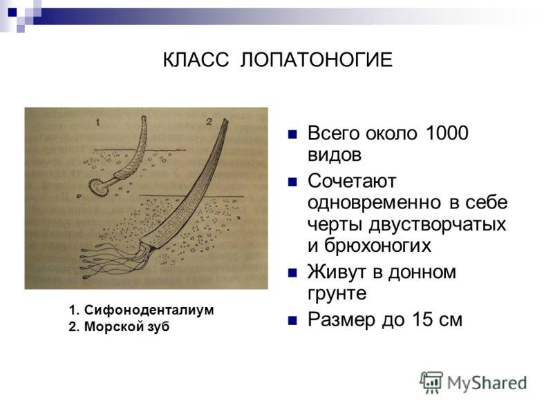 КЛАСС ЛОПАТОНОГИЕ Всего около 1000 видов Сочетают одновременно в себе черты двустворчатых и брюхоногих Живут в донном грунте Размер до 15 см 1. Сифоноденталиум 2. Морской зуб
