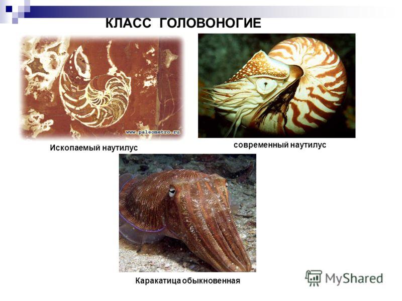 Ископаемый наутилус современный наутилус Каракатица обыкновенная