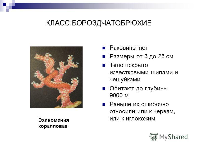 КЛАСС БОРОЗДЧАТОБРЮХИЕ Раковины нет Размеры от 3 до 25 см Тело покрыто известковыми шипами и чешуйками Обитают до глубины 9000 м Раньше их ошибочно относили или к червям, или к иглокожим Эхиномения коралловая