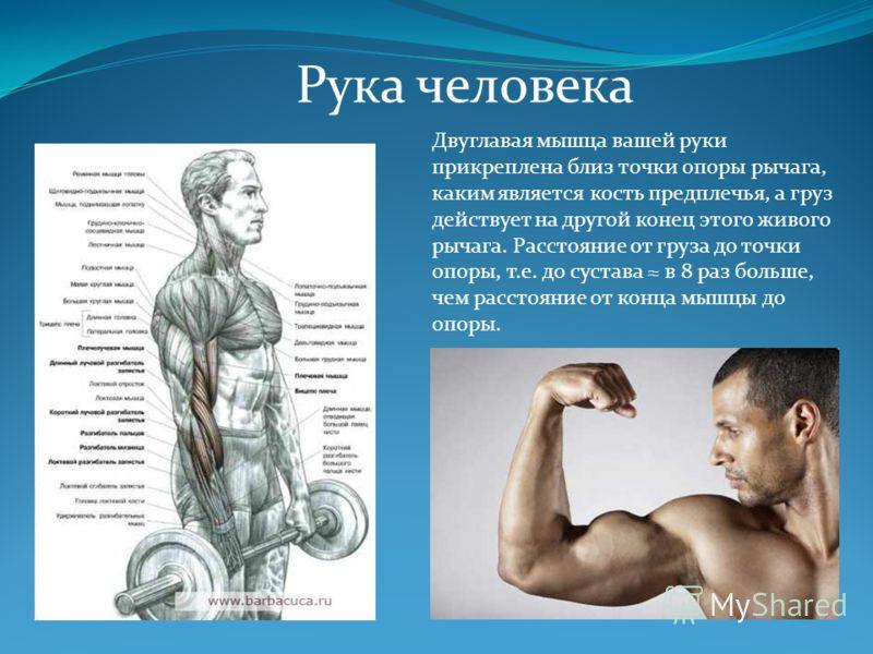 Рука человека Двуглавая мышца вашей руки прикреплена близ точки опоры рычага, каким является кость предплечья, а груз действует на другой конец этого живого рычага. Расстояние от груза до точки опоры, т.е. до сустава в 8 раз больше, чем расстояние от