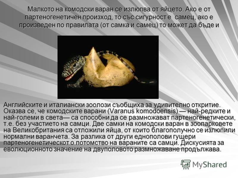 Малкото на комодски варан се излюпва от яйцето. Ако е от партеногенетичен произход, то със сигурност е самец, ако е произведен по правилата (от самка и самец) то может да бъде и самка, и самец. Английските и италиански зоолози съобщиха за удивително