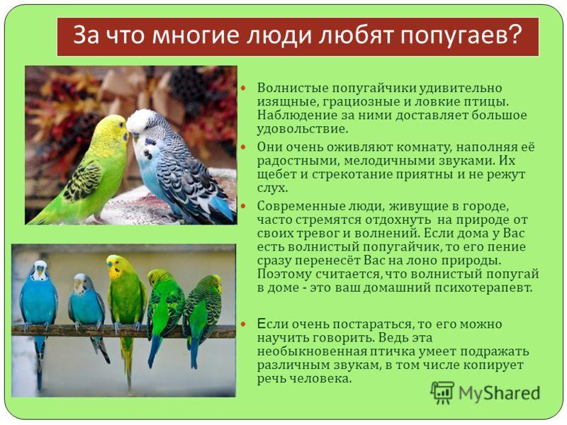 За что многие люди любят попугаев ? Волнистые попугайчики удивительно изящные, грациозные и ловкие птицы. Наблюдение за ними доставляет большое удовольствие. Они очень оживляют комнату, наполняя её радостными, мелодичными звуками. Их щебет и стрекота