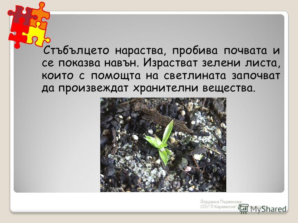 Йорданка Първанова, СОУЛ.Каравелов-Димитровград Стъбълцето нараства, пробива почвата и се показва навън. Израстват зелени листа, които с помощта на светлината започват да произвеждат хранителни вещества.