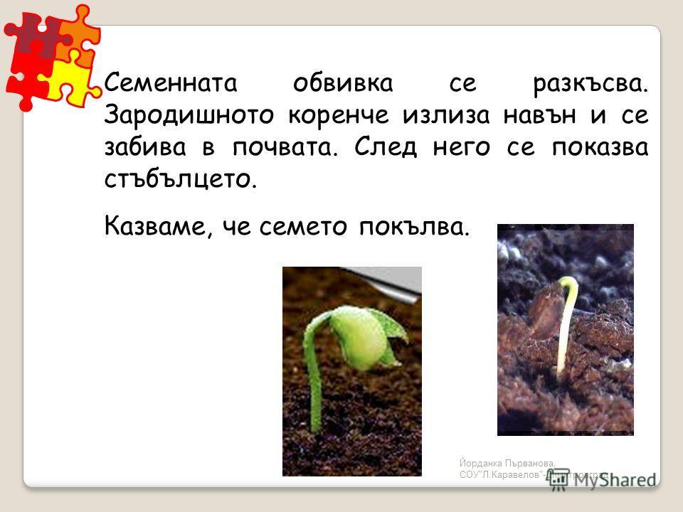 Йорданка Първанова, СОУЛ.Каравелов-Димитровград Семенната обвивка се разкъсва. Зародишното коренче излиза навън и се забива в почвата. След него се показва стъбълцето. Казваме, че семето покълва.