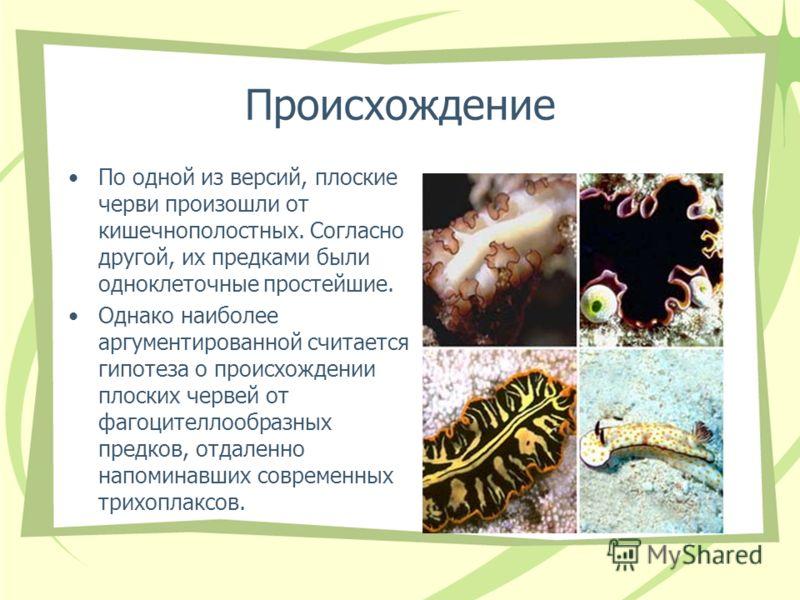 Происхождение По одной из версий, плоские черви произошли от кишечнополостных. Согласно другой, их предками были одноклеточные простейшие. Однако наиболее аргументированной считается гипотеза о происхождении плоских червей от фагоцителлообразных пред