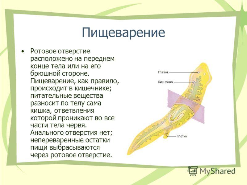 плоские черви паразиты человека и животных кратко