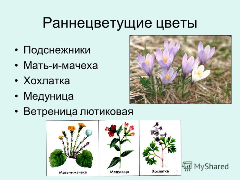 Раннецветущие цветы Подснежники Мать-и-мачеха Хохлатка Медуница Ветреница лютиковая