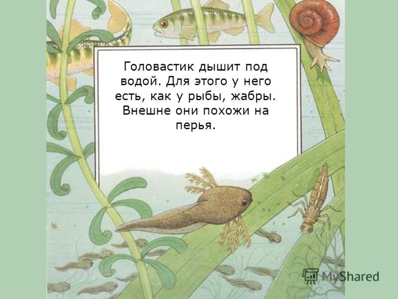 Головастик питается маленькими растениями, которые есть в воде. Плавает головастик, извивая свой хвост.
