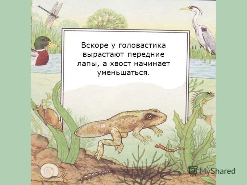 Но головастик живет в воде. Значит время от времени ему нужно выплывать на поверхность, чтобы вдохнуть воздух.