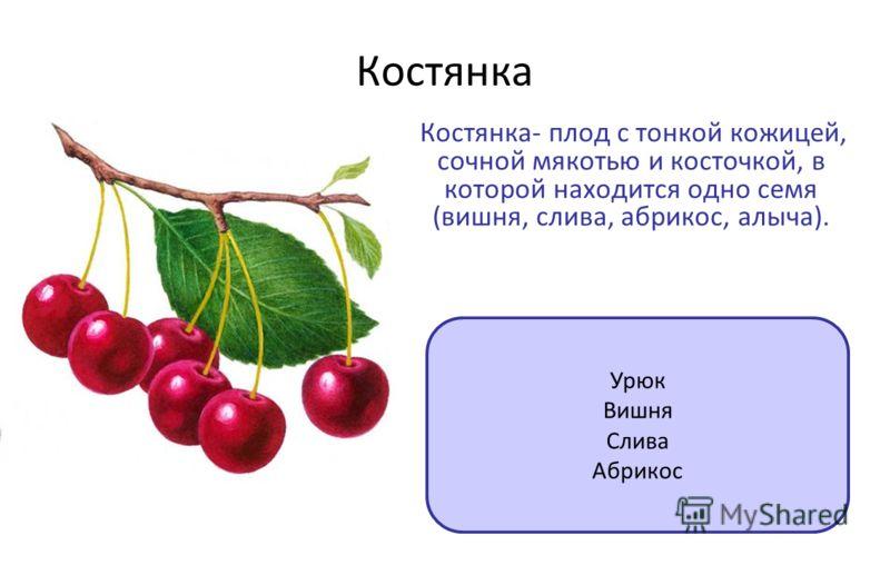 Костянка Костянка- плод с тонкой кожицей, сочной мякотью и косточкой, в которой находится одно семя (вишня, слива, абрикос, алыча). Урюк Вишня Слива Абрикос