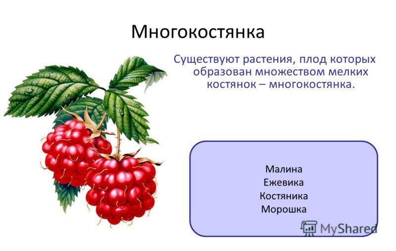 Многокостянка Существуют растения, плод которых образован множеством мелких костянок – многокостянка. Малина Ежевика Костяника Морошка
