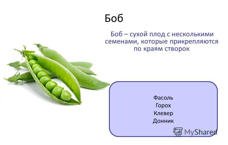 Боб Боб – сухой плод с несколькими семенами, которые прикрепляются по краям створок Фасоль Горох Клевер Донник