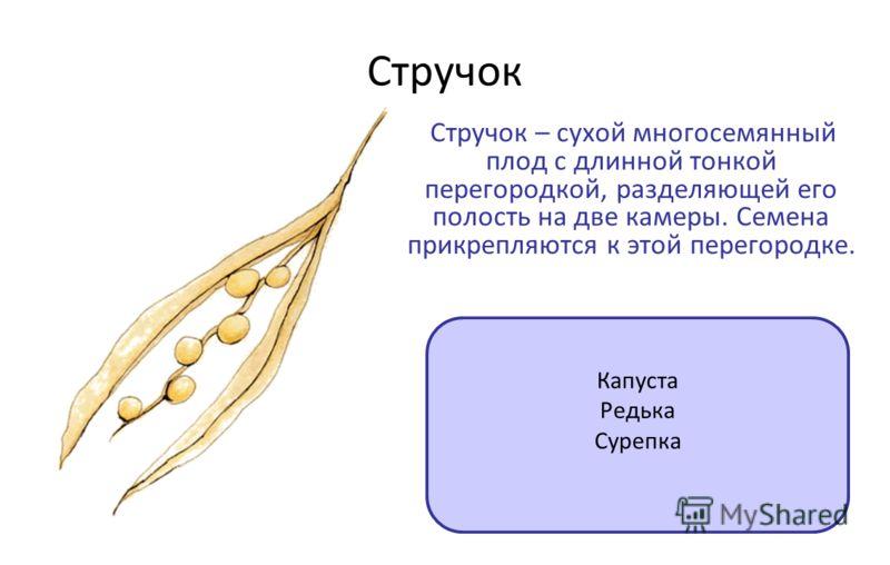 Стручок Стручок – сухой многосемянный плод с длинной тонкой перегородкой, разделяющей его полость на две камеры. Семена прикрепляются к этой перегородке. Капуста Редька Сурепка