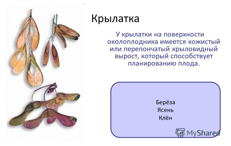 Крылатка У крылатки на поверхности околоплодника имеется кожистый или перепончатый крыловидный вырост, который способствует планированию плода. Берёза Ясень Клён