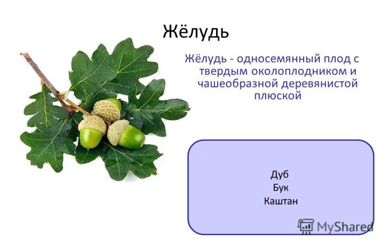Жёлудь Дуб Бук Каштан Жёлудь - односемянный плод с твердым околоплодником и чашеобразной деревянистой плюской