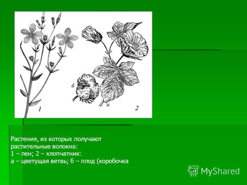 Растения, из которых получают растительные волокна: 1 – лен; 2 – хлопчатник: а – цветущая ветвь; б – плод (коробочка