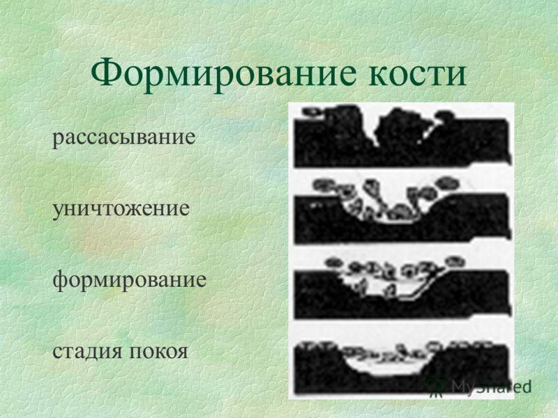 Формирование кости рассасывание уничтожение формирование стадия покоя