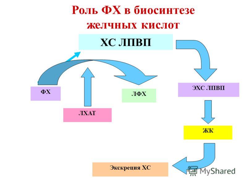 Экскреция ХС ХС ЛПВП ФХ ЛФХ ЛХАТ ЭХС ЛПВП Роль ФХ в биосинтезе желчных кислот ЖК