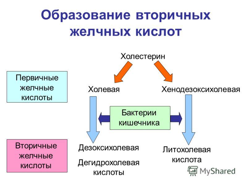 Образование вторичных желчных кислот Холестерин ХолеваяХенодезоксихолевая Бактерии кишечника Дезоксихолевая Дегидрохолевая кислоты Литохолевая кислота Первичные желчные кислоты Вторичные желчные кислоты