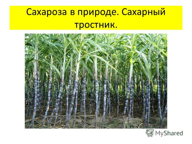 Сахароза в природе. Сахарный тростник.