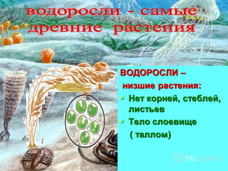 ВОДОРОСЛИ – низшие растения: низшие растения: Нет корней, стеблей, листьев Нет корней, стеблей, листьев Тело слоевище Тело слоевище ( таллом) ( таллом)