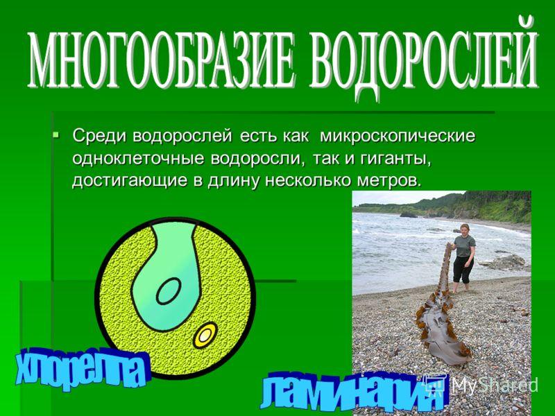 Среди водорослей есть как микроскопические одноклеточные водоросли, так и гиганты, достигающие в длину несколько метров. Среди водорослей есть как микроскопические одноклеточные водоросли, так и гиганты, достигающие в длину несколько метров.