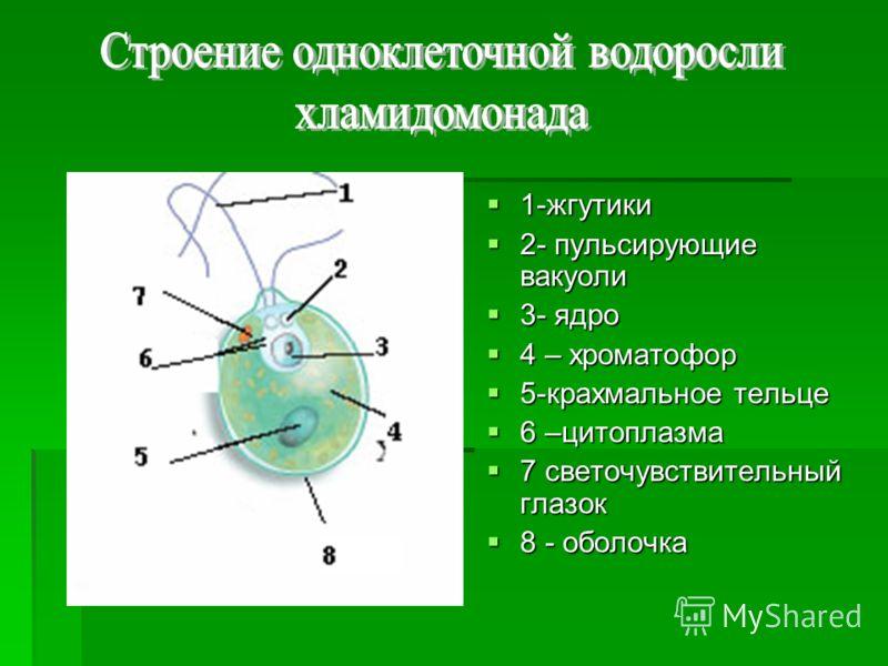 1-жгутики 1-жгутики 2- пульсирующие вакуоли 2- пульсирующие вакуоли 3- ядро 3- ядро 4 – хроматофор 4 – хроматофор 5-крахмальное тельце 5-крахмальное тельце 6 –цитоплазма 6 –цитоплазма 7 светочувствительный глазок 7 светочувствительный глазок 8 - обол