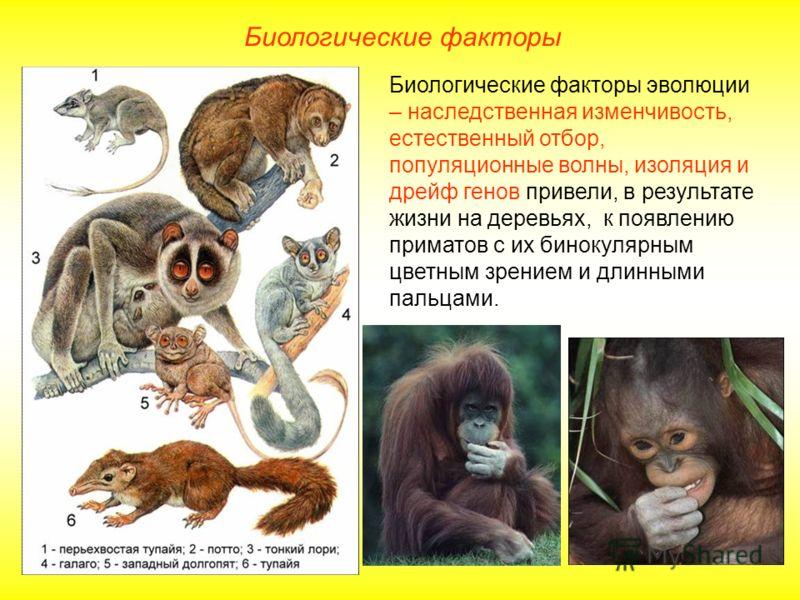 Биологические факторы Биологические факторы эволюции – наследственная изменчивость, естественный отбор, популяционные волны, изоляция и дрейф генов привели, в результате жизни на деревьях, к появлению приматов с их бинокулярным цветным зрением и длин