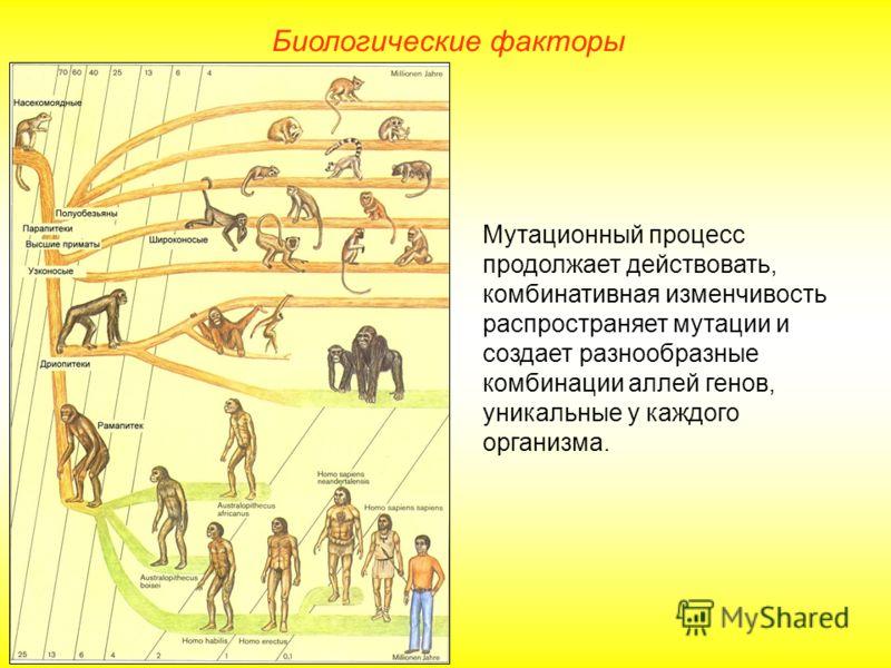 Мутационный процесс продолжает действовать, комбинативная изменчивость распространяет мутации и создает разнообразные комбинации аллей генов, уникальные у каждого организма. Биологические факторы
