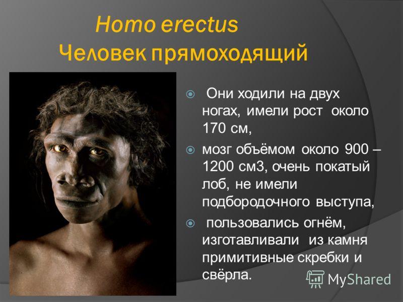 Homo erectus Человек прямоходящий Они ходили на двух ногах, имели рост около 170 см, мозг объёмом около 900 – 1200 см3, очень покатый лоб, не имели подбородочного выступа, пользовались огнём, изготавливали из камня примитивные скребки и свёрла.