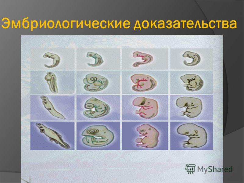 Эмбриологические доказательства