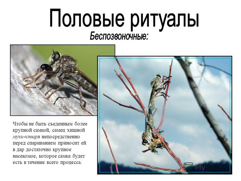 Чтобы не быть съеденным более крупной самкой, самец хищной мухи-ктыря непосредственно перед спариванием приносит ей в дар достаточно крупное насекомое, которое самка будет есть в течение всего процесса.