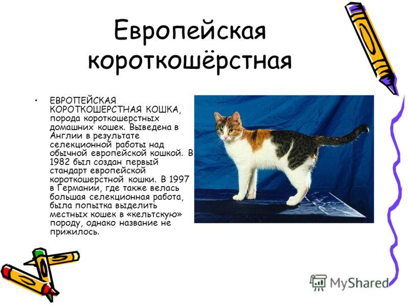 Европейская короткошёрстная ЕВРОПЕЙСКАЯ КОРОТКОШЕРСТНАЯ КОШКА, порода короткошерстных домашних кошек. Выведена в Англии в результате селекционной работы над обычной европейской кошкой. В 1982 был создан первый стандарт европейской короткошерстной кош