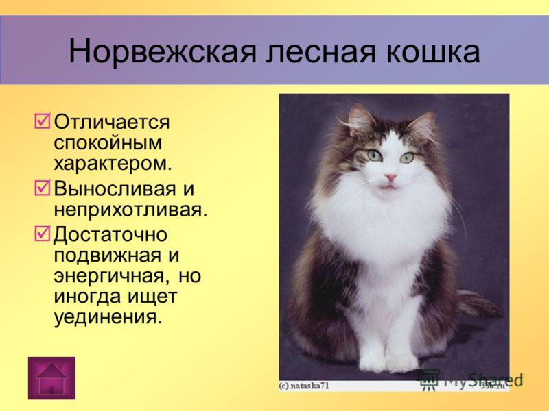 Норвежская лесная кошка Норвежская лесная кошка - порода полудлинношер стных кошек, внещне похожа на рысь, несколько версий происхождения. Норвежская лесная кошка