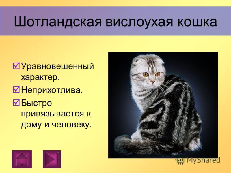 Шотландская вислоухая Шотландская вислоухая - порода короткошерстных кошек, средних размеров, крепкого, гармоничного телосложения. Шотландская вислоухая кошка
