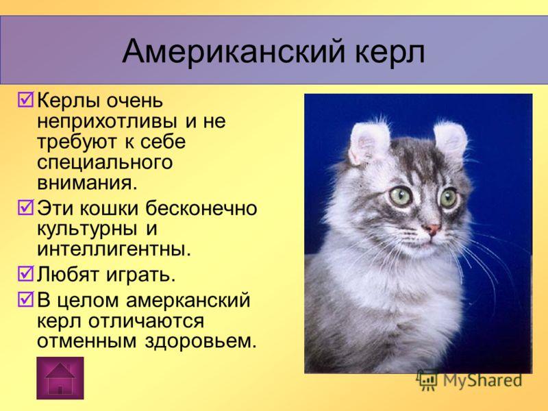 Американский керл Американский керл Американский керл (от curl - здесь с вывернутыми ушами),американская порода домашних короткошерстных кошек.