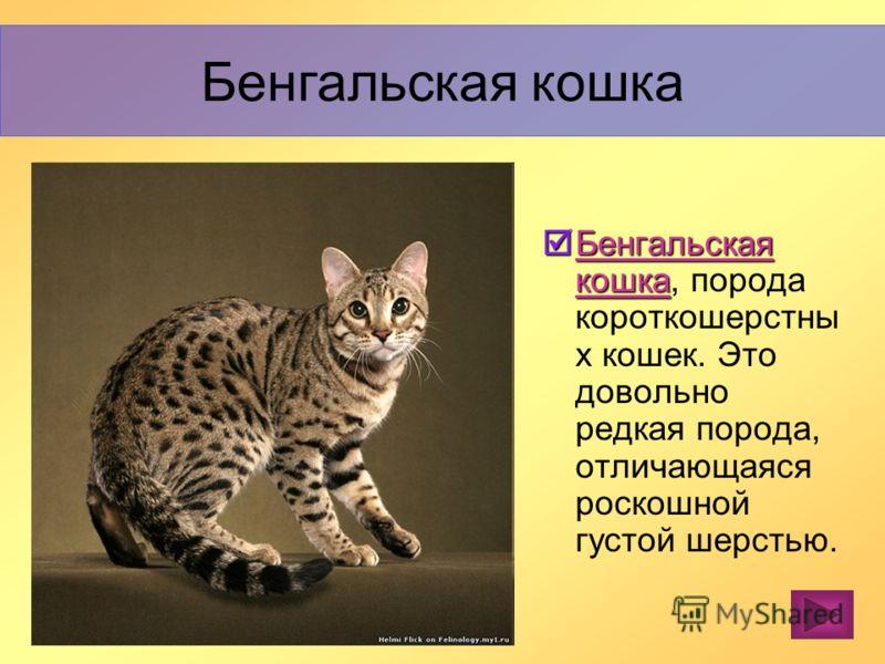 Керлы очень неприхотливы и не требуют к себе специального внимания. Эти кошки бесконечно культурны и интеллигентны. Любят играть. В целом амерканский керл отличаются отменным здоровьем. Американский керл