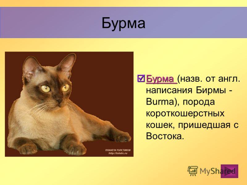 Кошки с темпераментом. Отличаются крепким здоровьем и выносливостью. Густая, чрезвычайно мягкая на ощупь, от короткой до средней длины шерсть. Бенгальская кошка