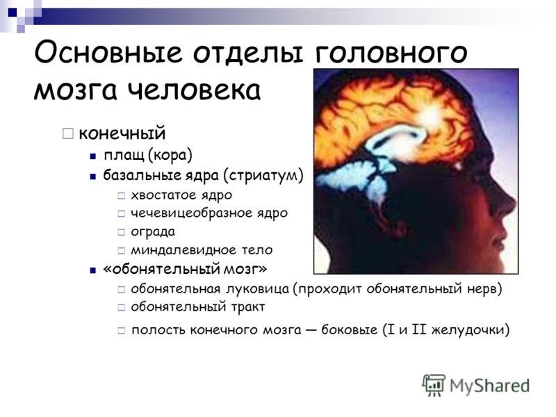 Основные отделы головного мозга человека конечный плащ (кора) базальные ядра (стриатум) хвостатое ядро чечевицеобразное ядро ограда миндалевидное тело «обонятельный мозг» обонятельная луковица (проходит обонятельный нерв) обонятельный тракт полость к