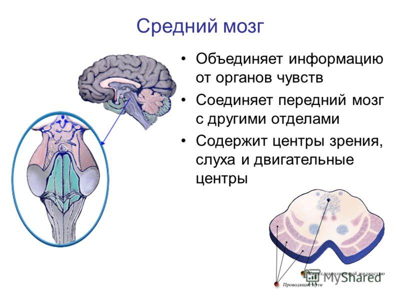 Объединяет информацию от органов чувств Соединяет передний мозг с другими отделами Содержит центры зрения, слуха и двигательные центры