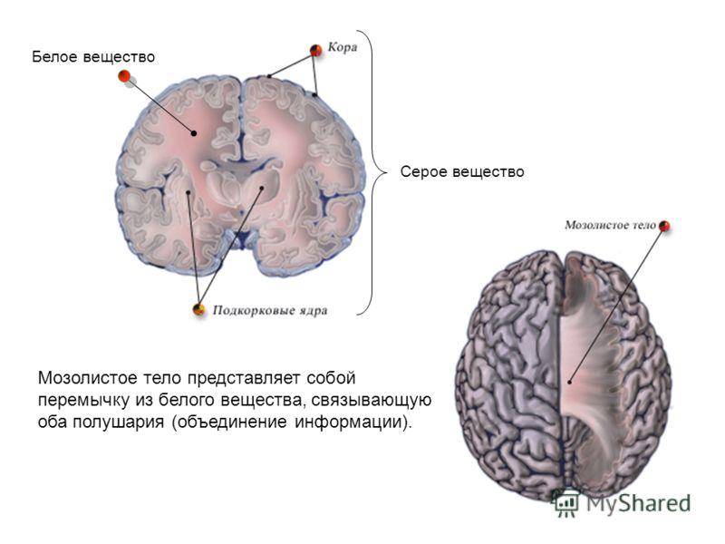 Серое вещество Белое вещество Мозолистое тело представляет собой перемычку из белого вещества, связывающую оба полушария (объединение информации).