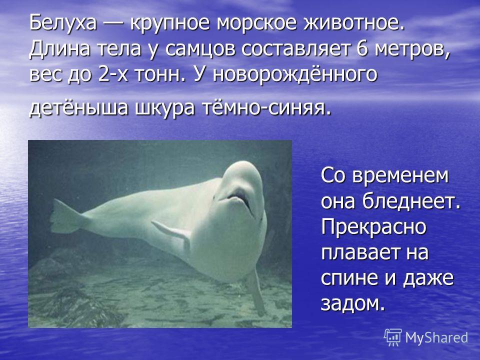 Белуха крупное морское животное. Длина тела у самцов составляет 6 метров, вес до 2-х тонн. У новорождённого детёныша шкура тёмно-синяя. Со временем она бледнеет. Прекрасно плавает на спине и даже задом.