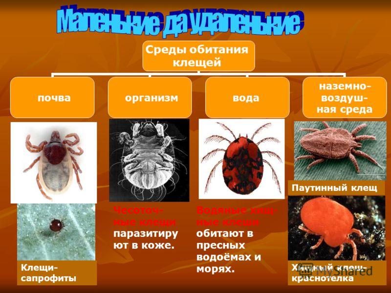 Среды обитания клещей почва организм вода наземно- воздуш- ная среда Клещи- сапрофиты Чесоточ- ные клещи паразитиру ют в коже. Водяные хищ- ные клеши обитают в пресных водоёмах и морях. Паутинный клещ Хищный клещ- краснотелка
