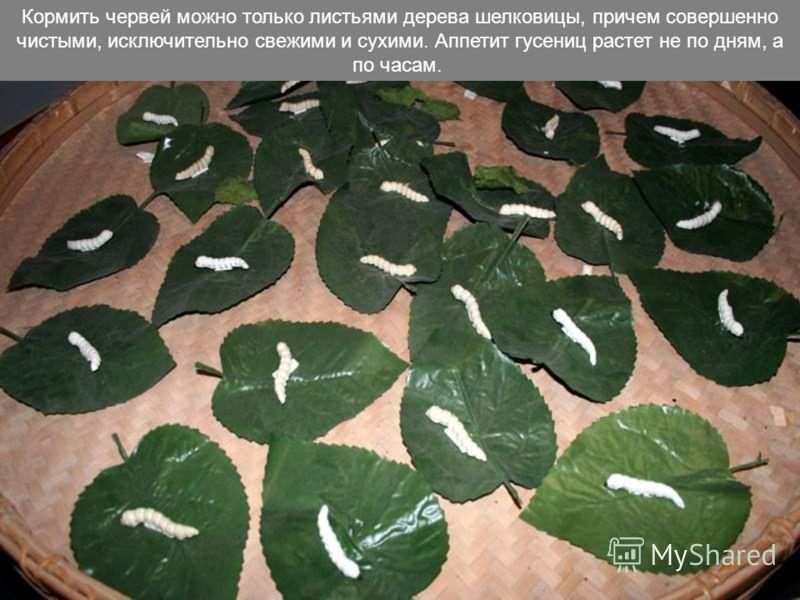 Шелковая ткань изготовляется из нитей, получаемых из коконов гусениц тутового шелкопряда. Их разведение требует большого внимания и кропотливого труда.