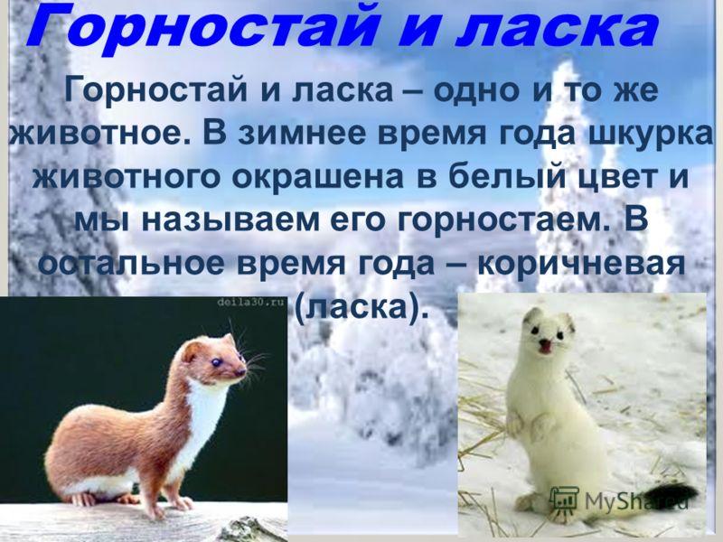 Горностай и ласка Горностай и ласка – одно и то же животное. В зимнее время года шкурка животного окрашена в белый цвет и мы называем его горностаем. В остальное время года – коричневая (ласка).