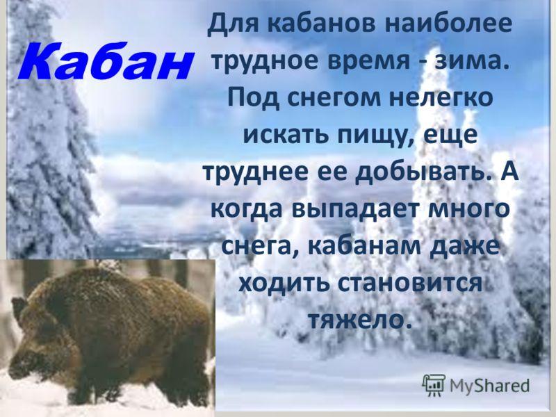 Кабан Для кабанов наиболее трудное время - зима. Под снегом нелегко искать пищу, еще труднее ее добывать. А когда выпадает много снега, кабанам даже ходить становится тяжело.