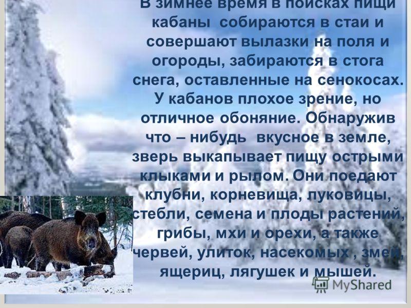 В зимнее время в поисках пищи кабаны собираются в стаи и совершают вылазки на поля и огороды, забираются в стога снега, оставленные на сенокосах. У кабанов плохое зрение, но отличное обоняние. Обнаружив что – нибудь вкусное в земле, зверь выкапывает