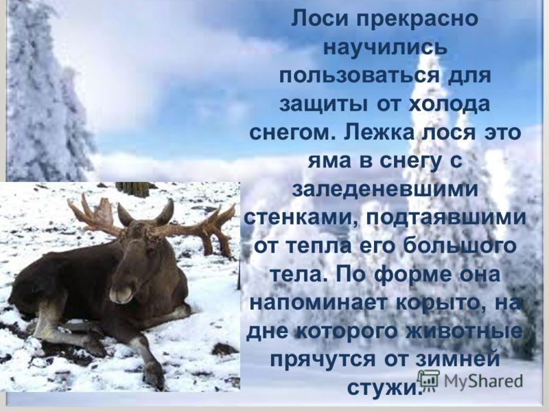 Лоси прекрасно научились пользоваться для защиты от холода снегом. Лежка лося это яма в снегу с заледеневшими стенками, подтаявшими от тепла его большого тела. По форме она напоминает корыто, на дне которого животные прячутся от зимней стужи.