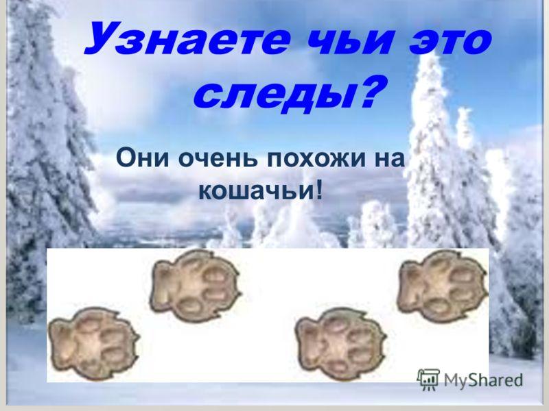 Узнаете чьи это следы? Они очень похожи на кошачьи!